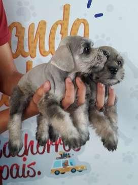 Hermosos cachorritos  schnauzer disponibles