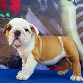 bulldog ingles 50  dias inigualables