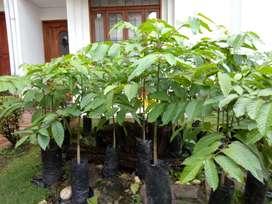 Arbolitos Ylang Ylang Flor de Cananga 1m de altura Villavicencio Plantas Árbol Jardín