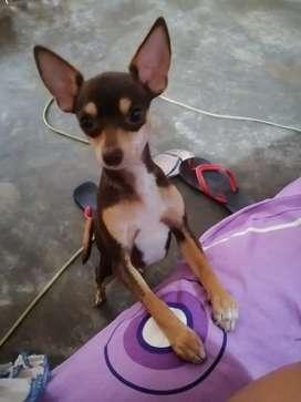 Se alquila Chihuahua para monta