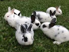 Conejos para mascota bebé