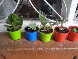 Venta de plantas suculentas (x2)
