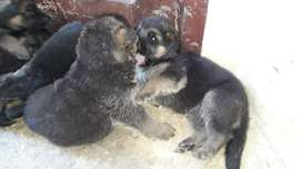En venta cachorros pastor alemán (raza 100% pura)