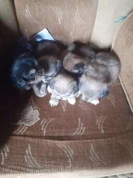 Perros en venta