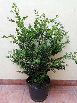 Buxus sempervirens Arbusto