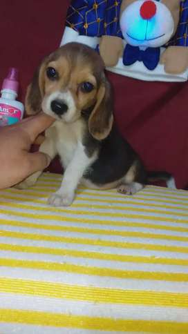 Beagle hembra disponible