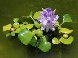 Jacinto o Buchón de agua, Planta Flotante.