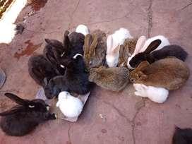 Conejos criollos 500 pesos