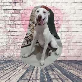 Se vende un hermoso cachorro labrador de 10 meses