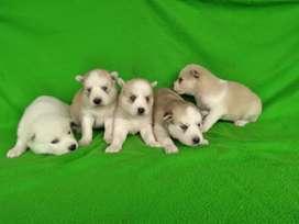 Husky siberianos garantizados