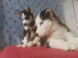 Pulcros cachorros husky siberiano de calidad