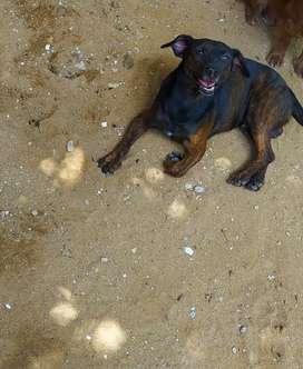Perro macho en adopción