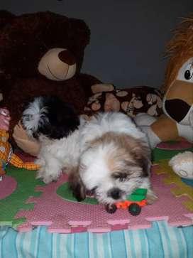 Hermosos cachorros de Shitzu originales