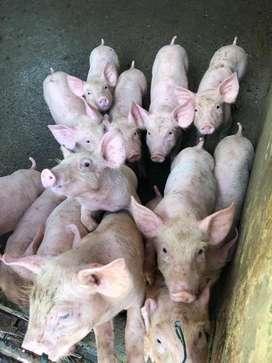 Vendo Lechones/Cerdos  Execelente Genetica