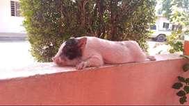Cerdos mini.pig