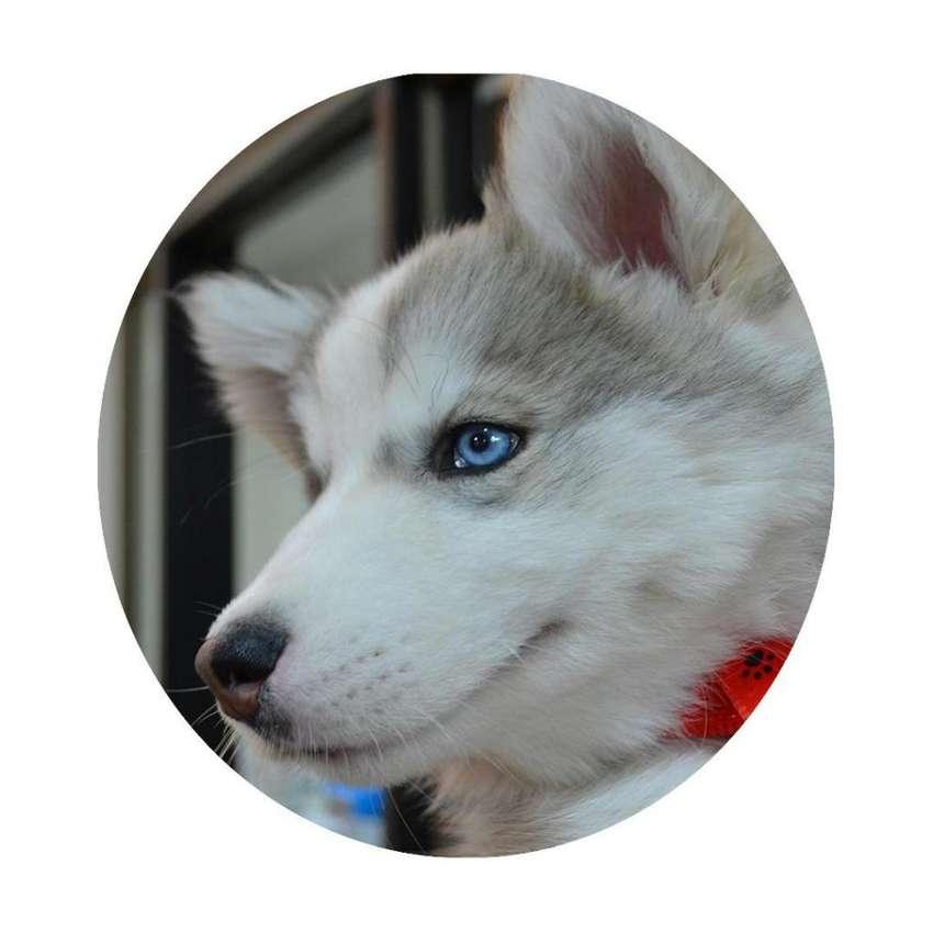 Cachorros Lobo Siberiano Criadero Canino 0