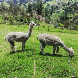 Vendo pareja de alpacos hembra y macho
