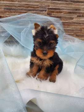 Yorkshire terrier macho hermoso