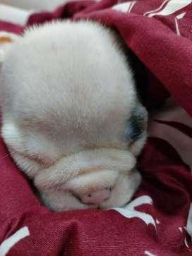 Hermosos bulldog ingles en venta excelente genetica en barranquilla