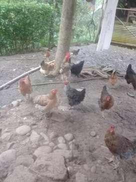 Se vende aves