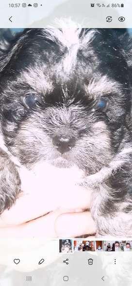 Shitzu cachorros negro, blanco y caramelo