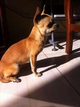 Chihuahua Macho Pura Raza para Cruzar.