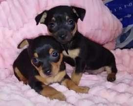 Hermosas cachorritas pincher de 45 días