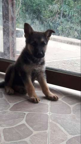 Vendo cachorro pastor alemán