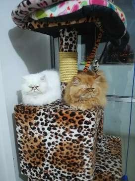 Venta de gatos persa