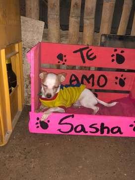 Chihuahua macho 6 meses