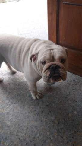Bulldog Ingles Hembra 2 Años