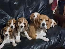 Cach. Beagle con pedigree