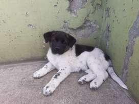 Se vende cachorros akitas Americanos