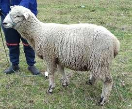 Oveja -cordero Romney Marsh