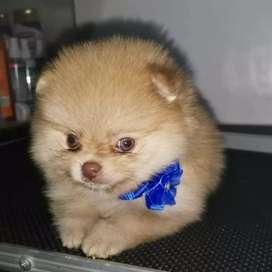 Pomeranias exclusivos bellos
