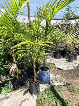 Palma Reina Alejandria,  Hermosas y económicas palmeras.  Decoración, jardines exteriores, entradas de fincas y parques.