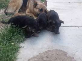 Se vende cachorras pastor alemán de mes y medio