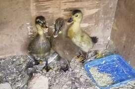 Vendo patos por pareja a 15000 y en cantidadd al mayor y detal