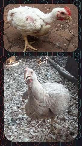 Pollos blancos