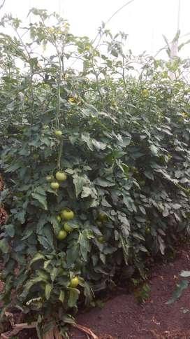 Venta Tomate Riñón de Invernadero