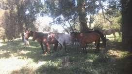 Vendo caballos