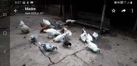 Venden gallinas patos ganzos cabras