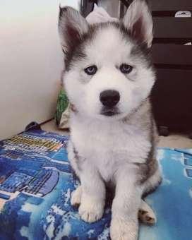 Lindo canino husky siberiano de 47 días