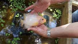 Bendo pez flower embra