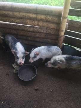 Minipigs reproductoras para criadero de mini pigs