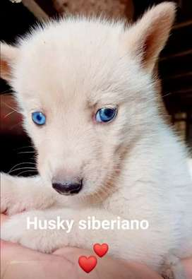 Lobos siverianos disponible manto crema
