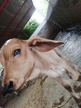 Se castran, curan y se diagnostican animales de especies mayores