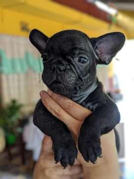 Hermosos Bulldogs Francés