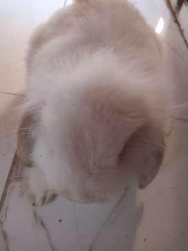 Conejo holland lop adulta