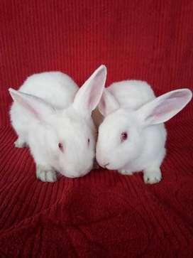 Vendo Conejos neozeolandes para mascota, reproductor o carne